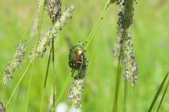 波兰,罗斯金龟子甲虫 图库摄影