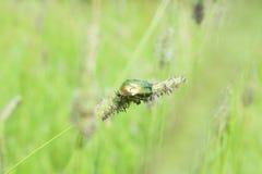 波兰,罗斯金龟子甲虫 免版税库存照片