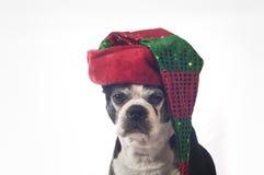 波士顿与圣诞节乔装的狗狗 库存照片