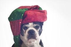 波士顿与圣诞节乔装的狗狗 库存图片