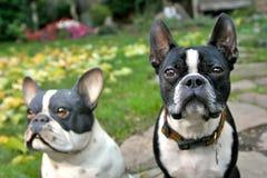 波士顿实际狗 图库摄影