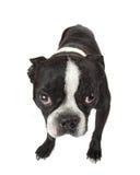波士顿小狗狗 库存图片