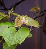 波士顿常春藤爬山虎属tricuspidata年轻藤叶子 免版税库存图片