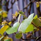 波士顿常春藤爬山虎属tricuspidata年轻藤叶子 库存图片
