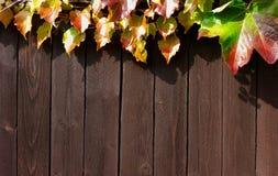 波士顿常春藤,爬山虎属tricuspidata,离开五颜六色的木篱芭板背景 库存照片