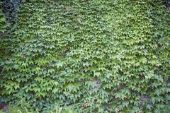 波士顿常春藤,生长在陡峭的墙壁上 库存照片