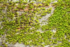 波士顿常春藤(爬行物)在墙壁上 免版税库存图片