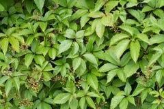 波士顿常春藤 ParthenocÃssus quinquefolia, Partenocissus tricuspidata 库存照片