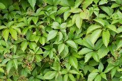 波士顿常春藤 ParthenocÃssus quinquefolia, Partenocissus tricuspidata 免版税库存图片
