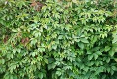 波士顿常春藤 ParthenocÃssus quinquefolia, Partenocissus tricuspidata 免版税库存照片