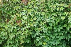 波士顿常春藤 ParthenocÃssus quinquefolia, Partenocissus tricuspidata 库存图片