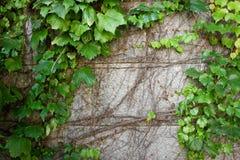 波士顿爬行墙壁的弯曲的绿色常春藤老石头 免版税库存图片