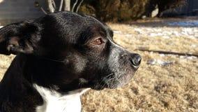 波士顿狗小狗在阳光下 库存图片