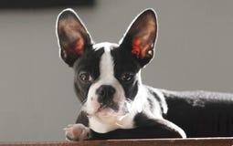 波士顿狗小狗 库存图片