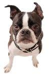 波士顿狗狗特写镜头 免版税库存图片
