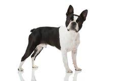波士顿狗狗 库存照片