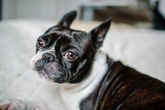 波士顿狗画象 库存图片