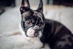 波士顿狗画象 免版税库存图片