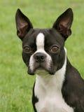 波士顿狗 免版税库存图片