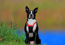 波士顿狗 免版税库存照片