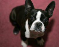 波士顿狗 库存图片