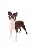 波士顿站立在白色的狗狗 免版税库存图片
