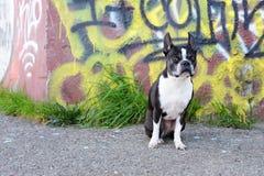 波士顿街道画狗 免版税库存照片