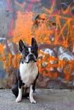 波士顿街道画狗 免版税库存图片