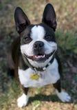 波士顿逗人喜爱的狗 库存图片