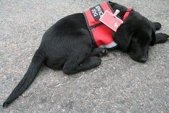 波士顿2013年马拉松在Boylston的纪念仪式小狗 免版税库存图片