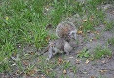 波士顿Ma, 6月30日:灰鼠在波士顿共同从Massachusettes国家的街市波士顿的美国 免版税库存照片