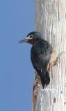 波多黎各人啄木鸟 库存图片