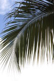 波多黎各人棕榈 免版税库存图片