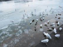波托马克河冰和鸟 免版税库存图片