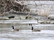 波托马克河加拿大鹅和鸭子春天2017年 库存照片