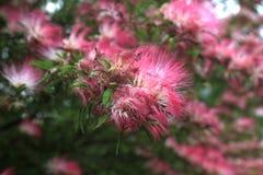 波斯合欢,经常称Mimosa 库存照片