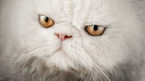 波斯品种的一只白色猫的凝视 免版税库存照片
