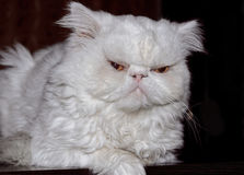 波斯品种的一只白色猫的枪口反对一黑暗的backgr的 免版税库存图片