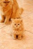 波斯小猫。 库存照片