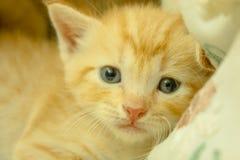 波斯小猫布朗 库存图片