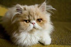 波斯小猫开会 免版税库存照片