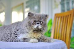 波斯小猫的特写镜头 库存照片