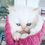 波斯小猫礼物 免版税库存照片
