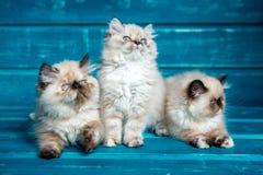 波斯小猫蓝色背景 免版税库存照片