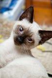 波斯小猫 免版税图库摄影