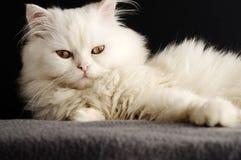 波斯小猫 库存图片