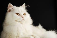 波斯小猫 图库摄影