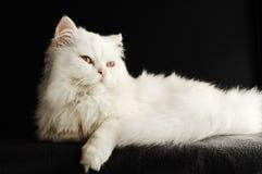 波斯小猫 免版税库存照片