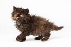 波斯小猫 免版税库存图片