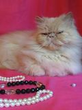 波斯成人猫 免版税库存照片